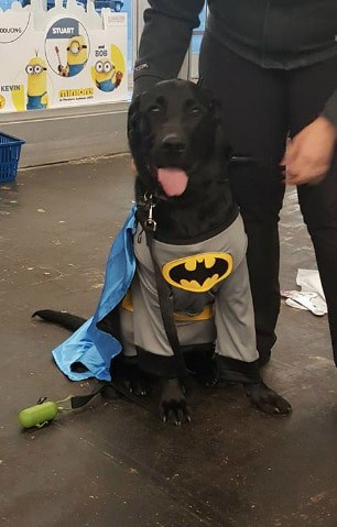 Halloween Batman costume for big dogs