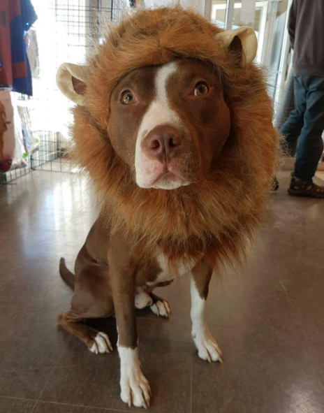 Halloween Lion Costume For Dogs